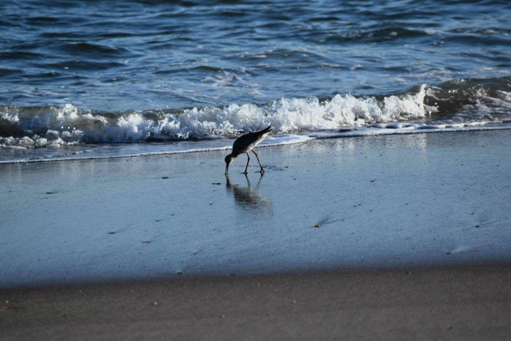 Seagull in front of a small wave breaking on a North Carolina beach