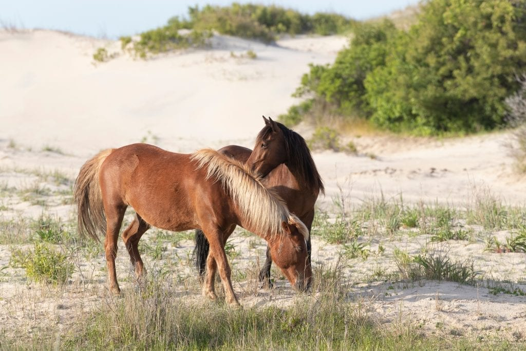 2 wild horses on a beach in North Carolina. Both horses are brown and they are standing near sand dunes
