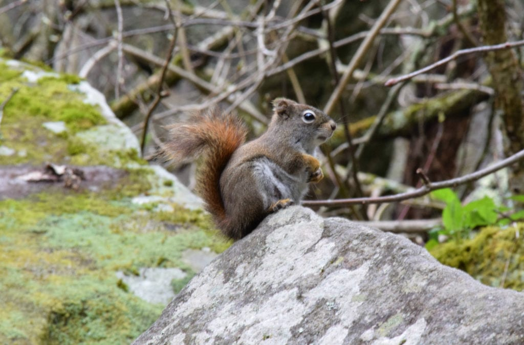 squirrel sitting on a mossy boulder in great smoky mountains hiking