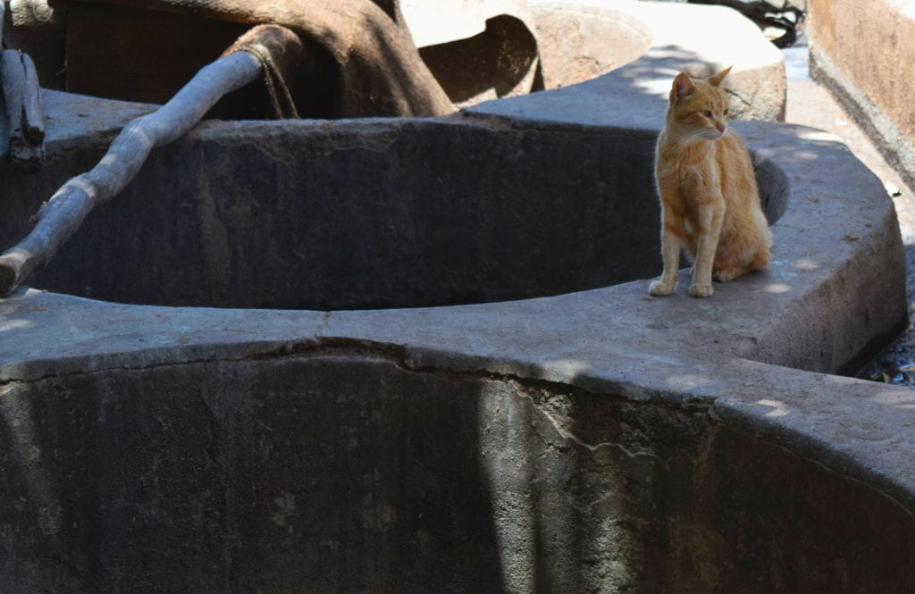 Marrakech Tannery Scam: Cat