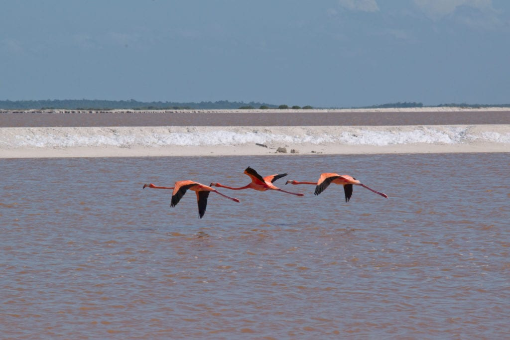 3 flamingos flying across the pink lakes mexico