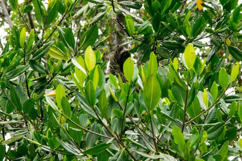 Sloth Island in Bocas del Toro, Panama