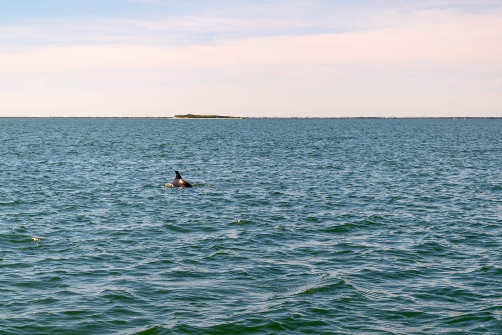 Things to Do in Beaufort NC: dolphin swimming in ocean