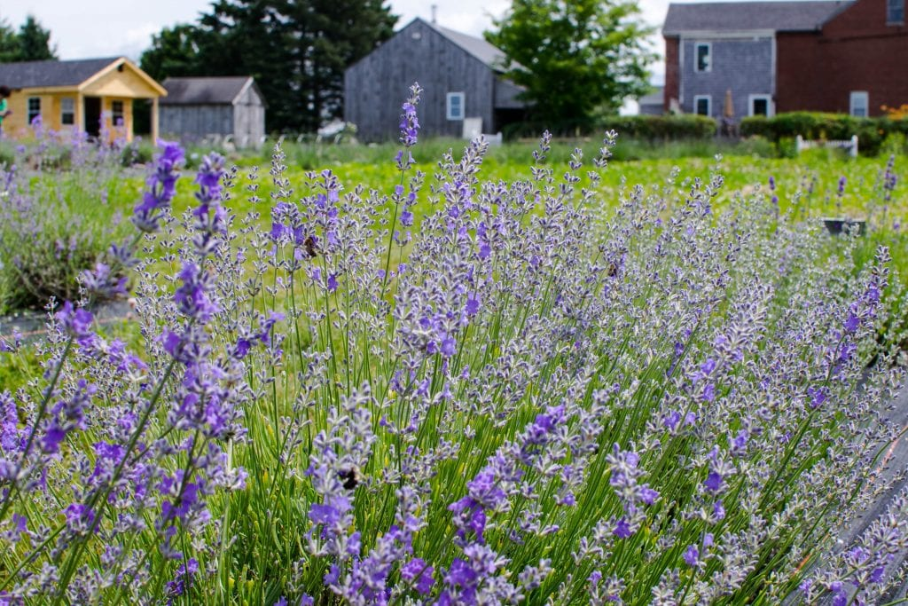 Moore Manor Lavender, Maine