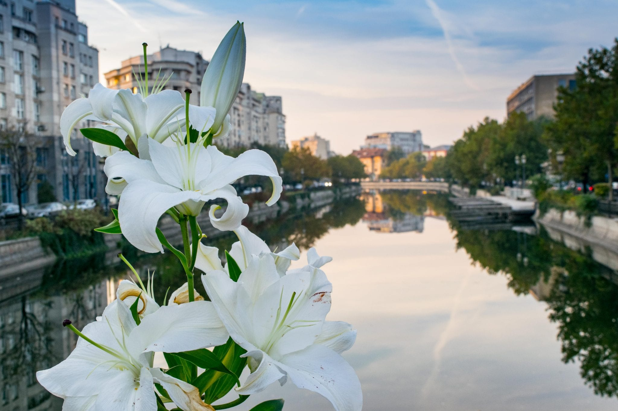 set of white lilies set against the river at sunset, as seen when exploring the best things to do in bucharest romania
