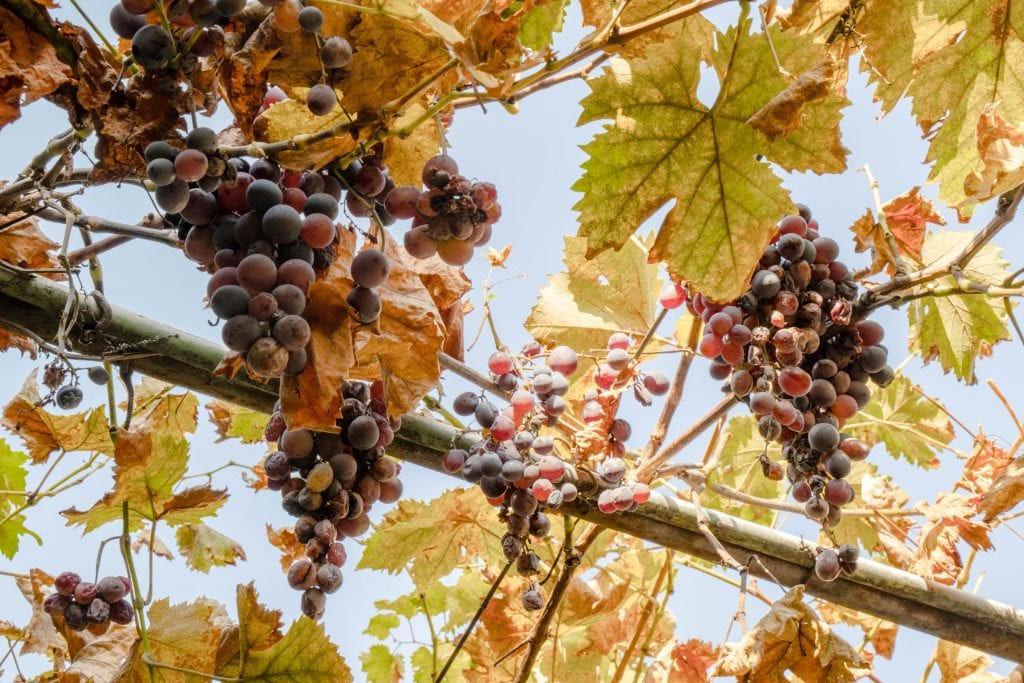Grapes hanging from a vine during an October trip to Bucharest Romania--the wine harvest is a great reason to pack for Europe in autumn!