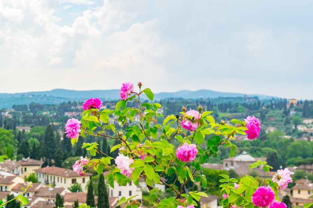 Roses in a garden in Florence--when exploring Florence off the beaten path, be sure to stop to literally smell the roses