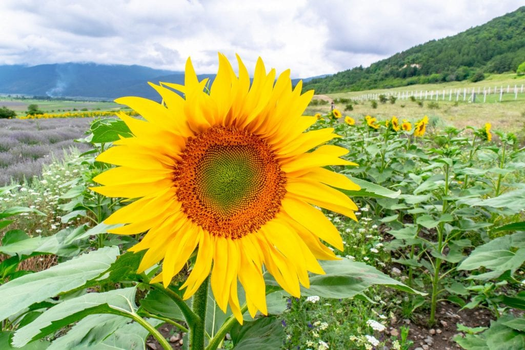 Close up of a sunflower blooming in Bulgaria--experiencing blooming seasons is one of our top Europe travel tips if you are looking for a way to time your trip!