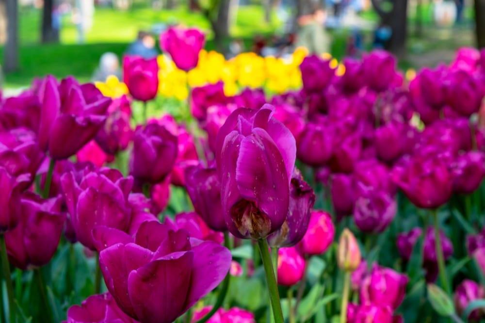 2 Days in Istanbul: Tulips in Taksim Square