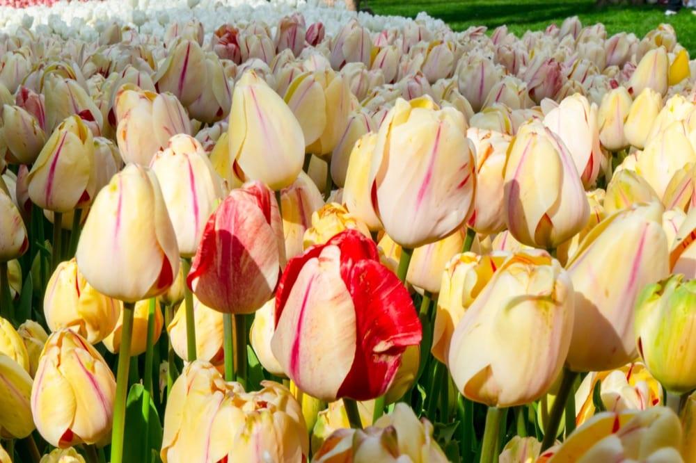 Fun Things to Do in Istanbul: Tulips
