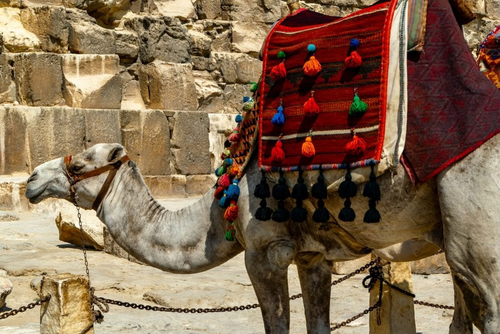 Cairo Layover: Camel at Giza