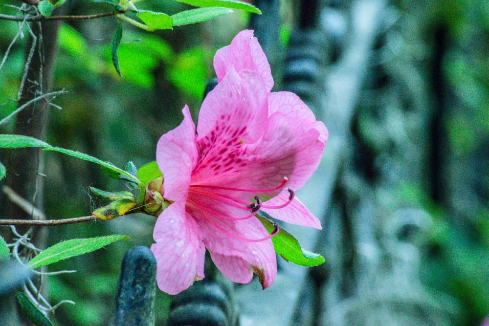 The Best Things to Do in Savannah: pink flower