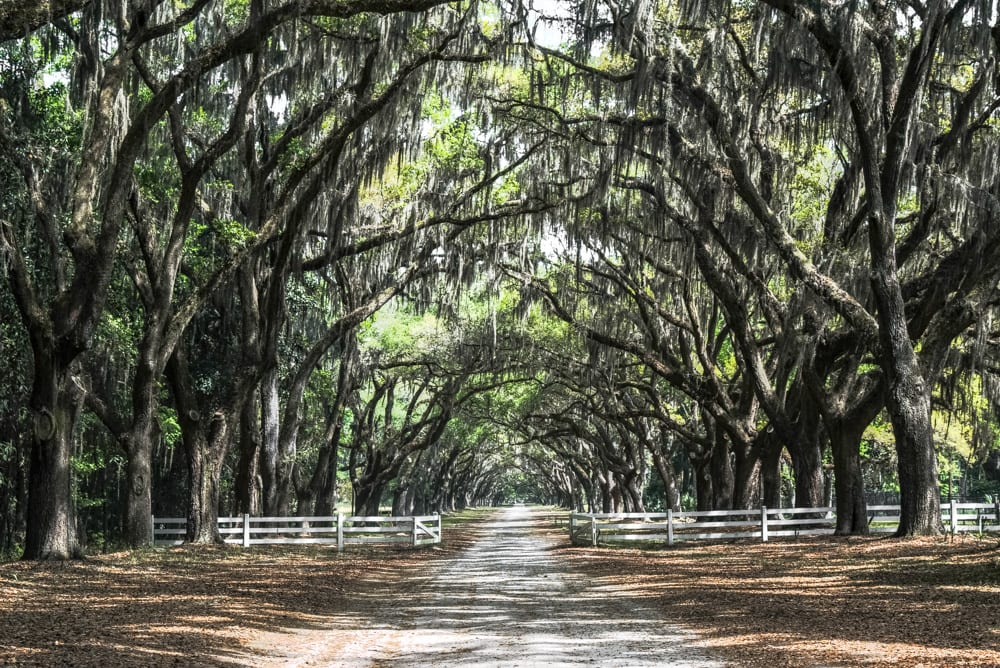 Driveway of Wormsloe Plantation, one of the best Savannah photo spots, with a white wooden fence with the gate open
