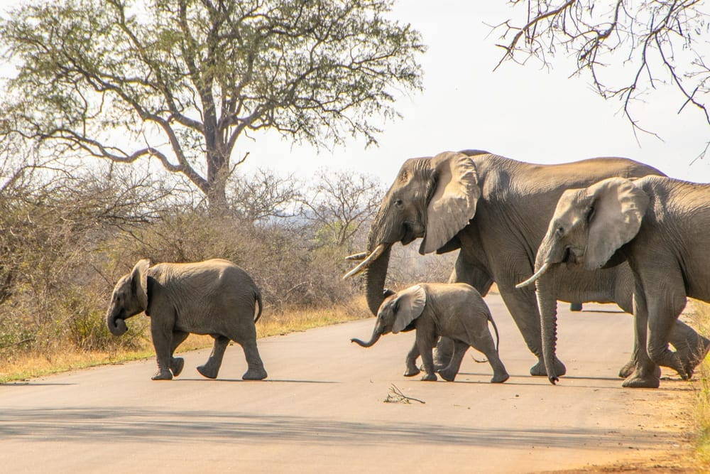 2 Weeks in South Africa Itinerary: Baby Elephants in Kruger