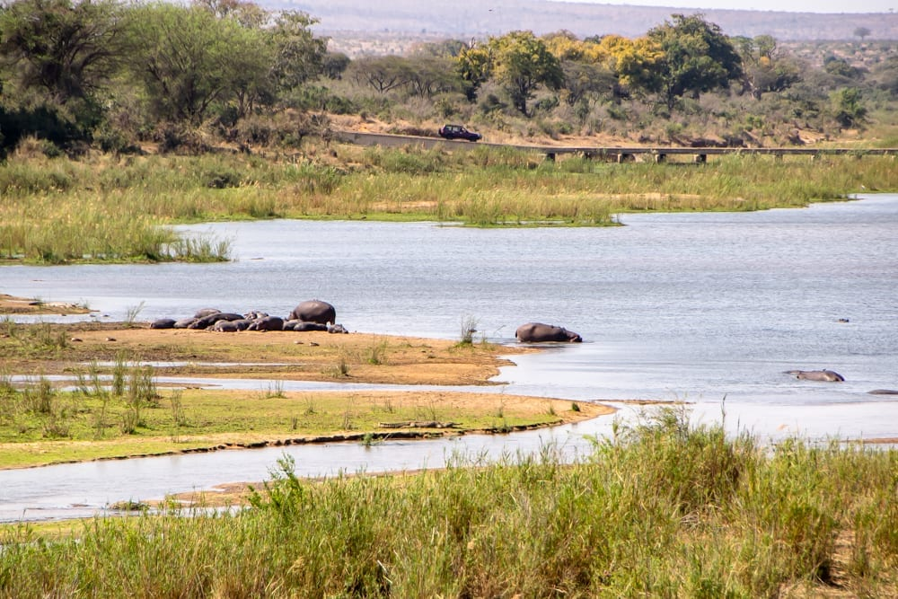 hippos sunning themselves at lower sabie watering hole
