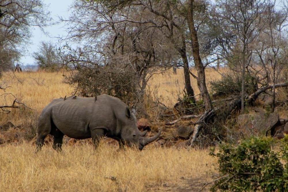 rhino seen on safari kruger national park