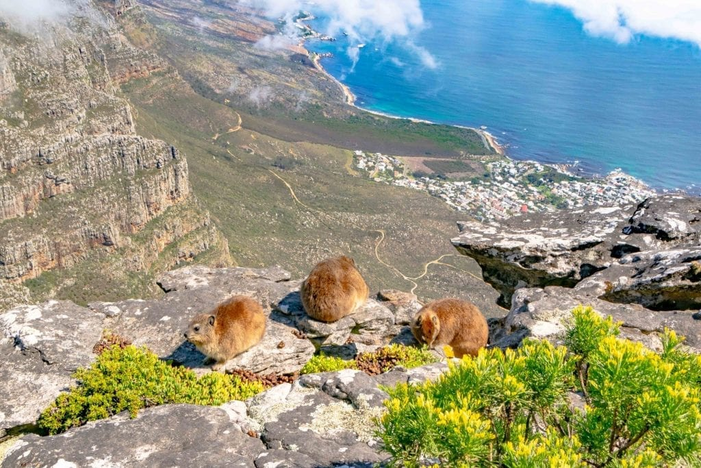 dassies on top of table mountain south africa