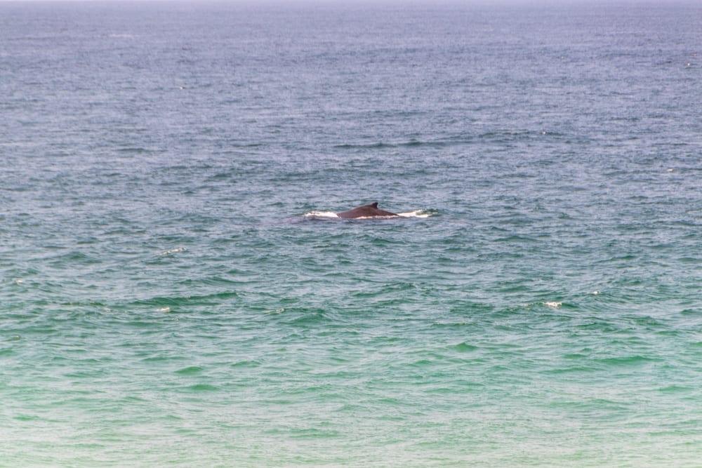 Tofo, Mozambique: humpback whale