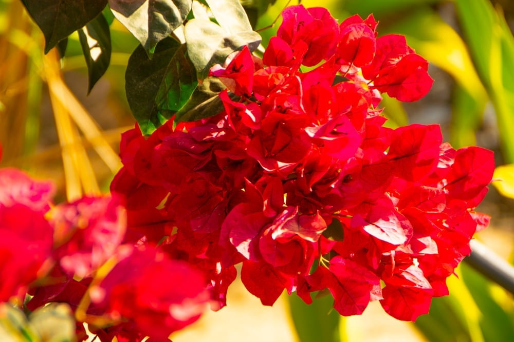 Red Flower in Tofo Mozambique