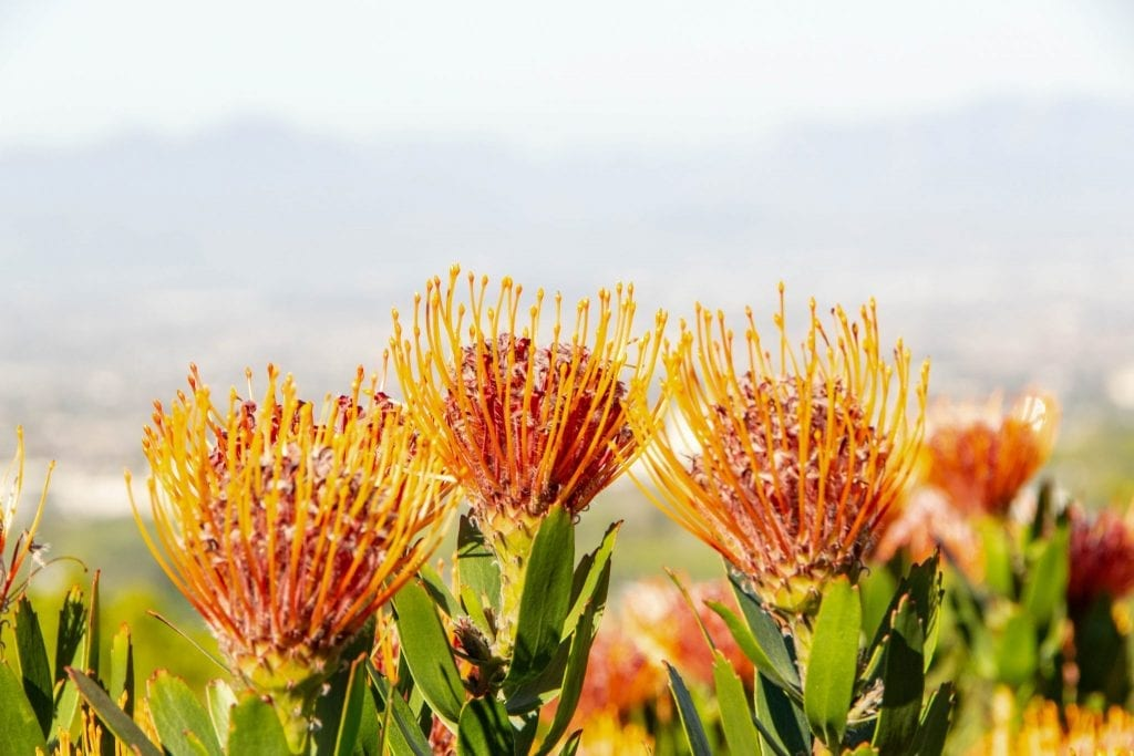 2 Weeks in South Africa Itinerary: Orange Flowers