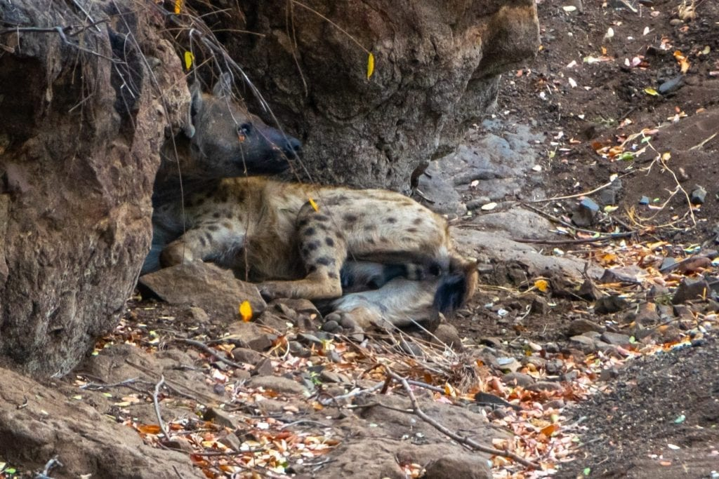 Napping Hyena in Kruger National Park