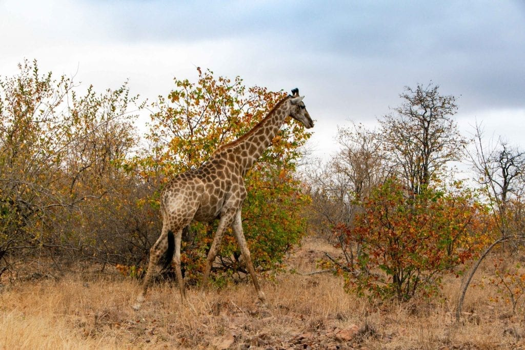 2 Weeks in South Africa Itinerary: Baby Giraffe in Kruger National Park