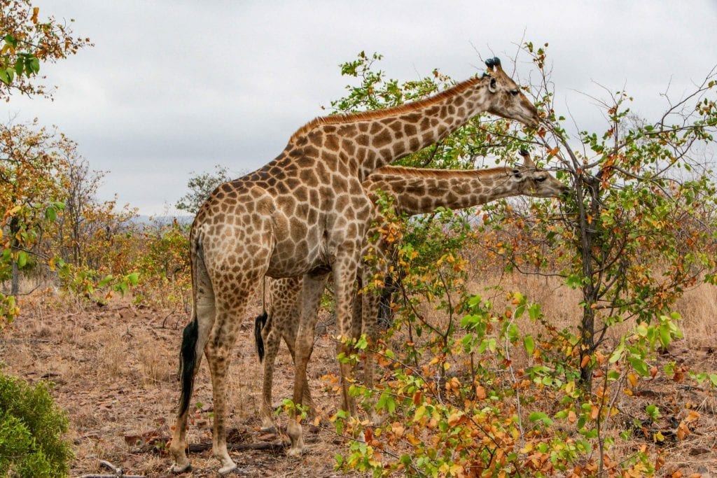 2 Weeks in Cape Town Itinerary: Giraffes in Kruger National Park