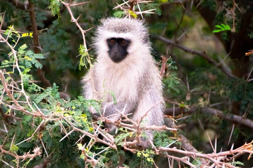 Packing List for South Africa: Monkey in Kruger NP