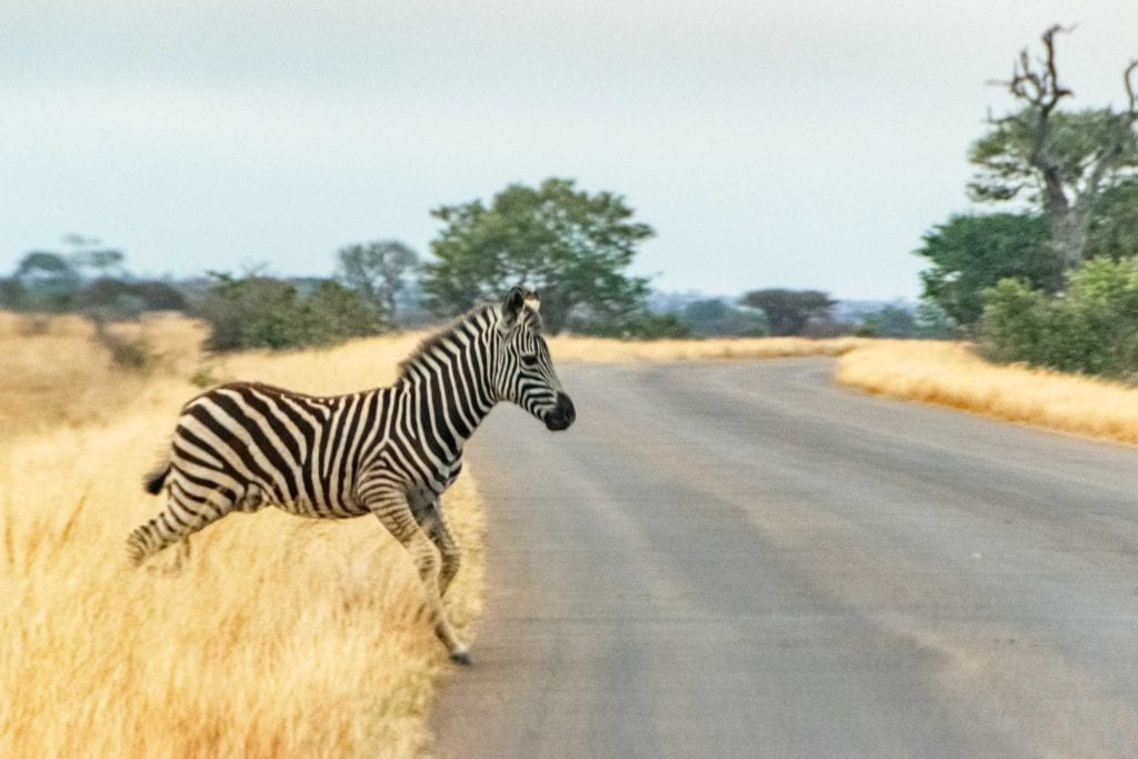 2 Weeks in South Africa Itinerary: Baby Zebra