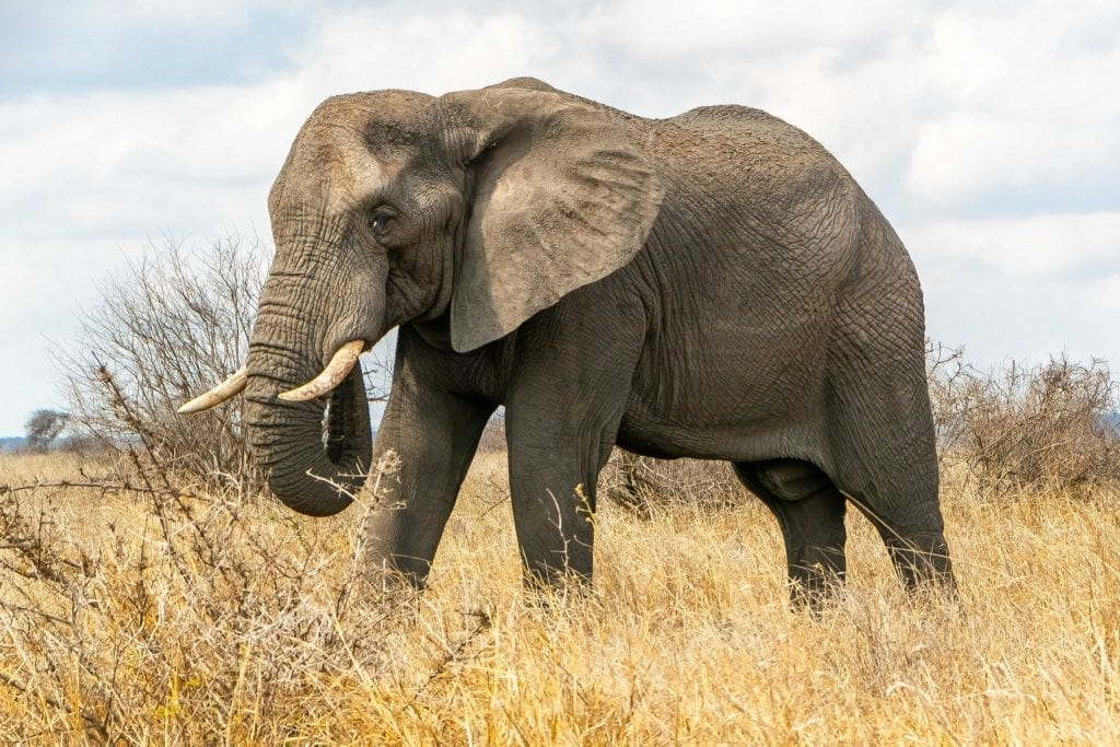 2 Week South Africa Itinerary: Elephant in Kruger National Park