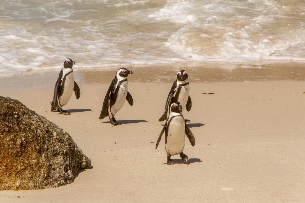 four penguins walking out of the water at boulders beach south africa