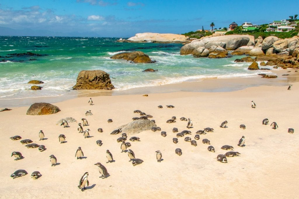 2 Weeks in South Africa Itinerary: Penguins on Boulders Beach