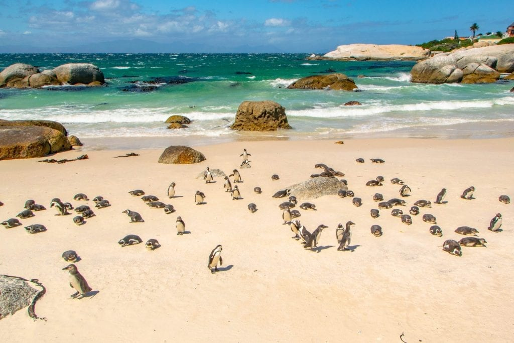 3 Days in Cape Town Itinerary: Penguins at Boulders Beach