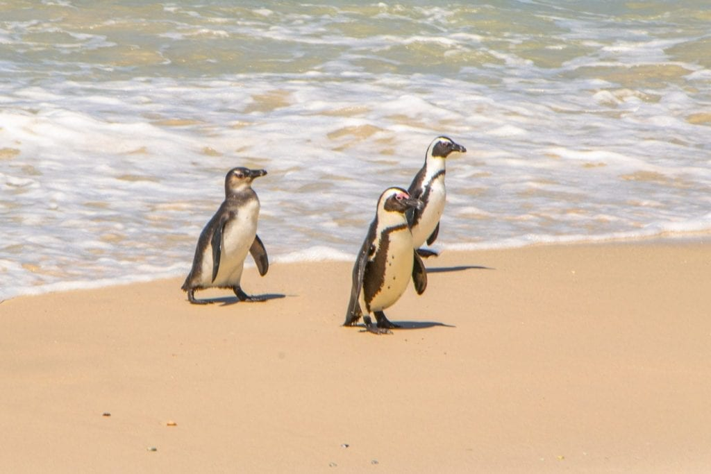 3 penguins walking out of the water at boulders beach south africa