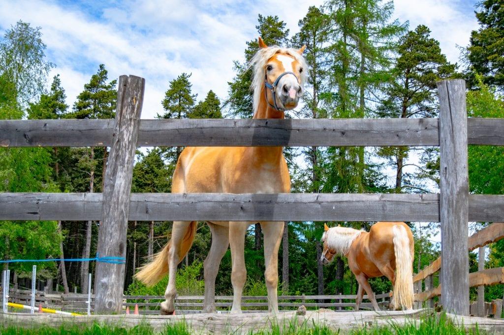 Horse peering over a fence near Soprabolzano, Italy