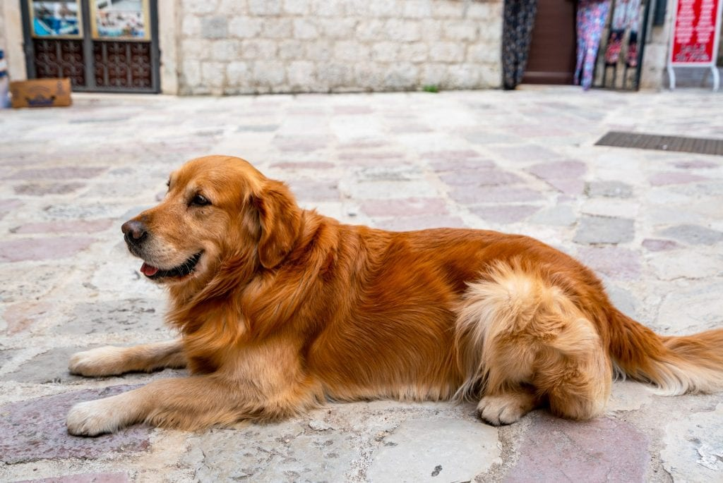 Golden Retriever in Kotor, Fun Things to Do in Kotor Montenegro