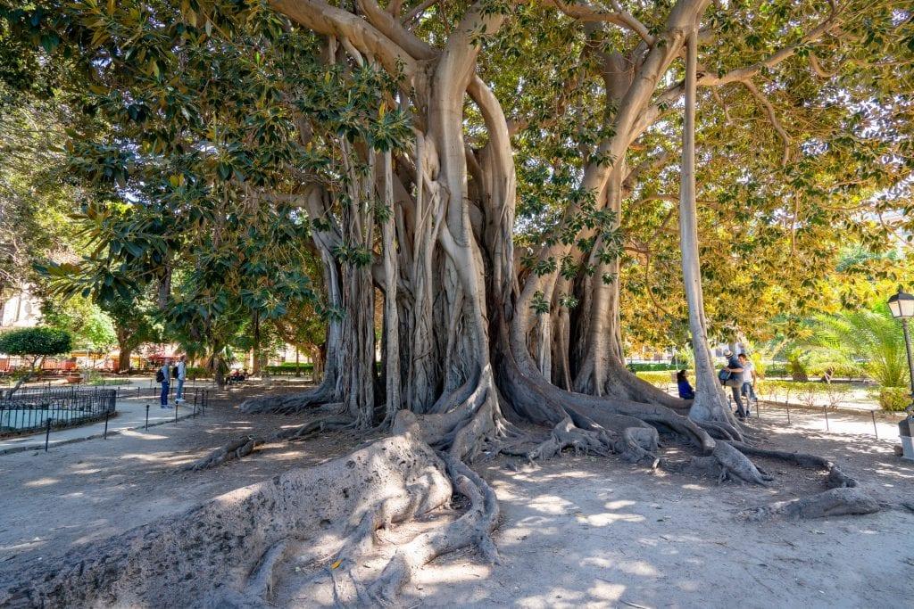 Large tree in Giardino Garibaldi, Palermo, Sicily