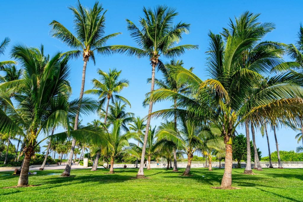 Palm trees growing on green grass in Lummus Park, Miami Beach.
