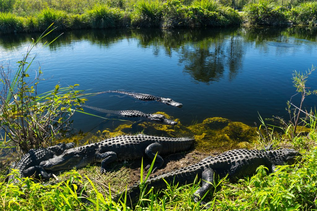 group of alligators in and near the water in everglades national park