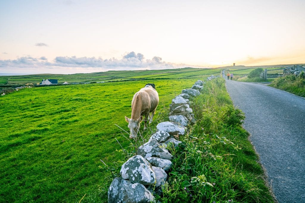 Road leading toward Hag's Head at the Cliffs of Moher. There's a brown cow to the left of the photo.