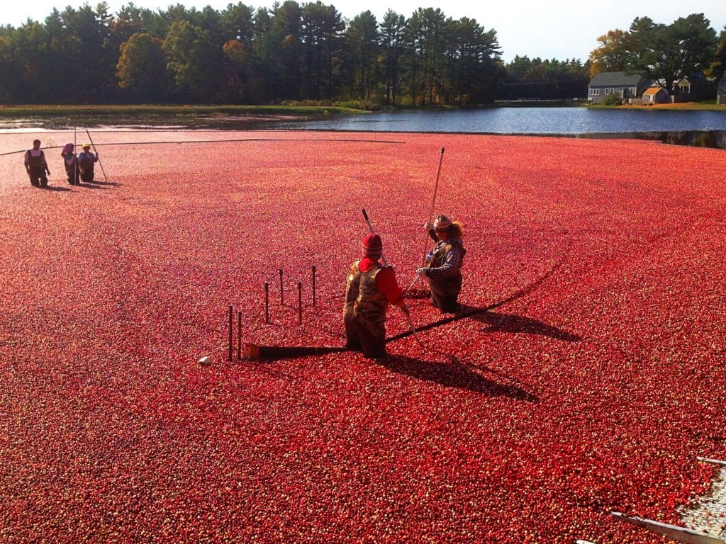 Cranberry Bog shot from above in Massachusetts. Visiting a cranberry bog is an unforgettable place to see in New England!