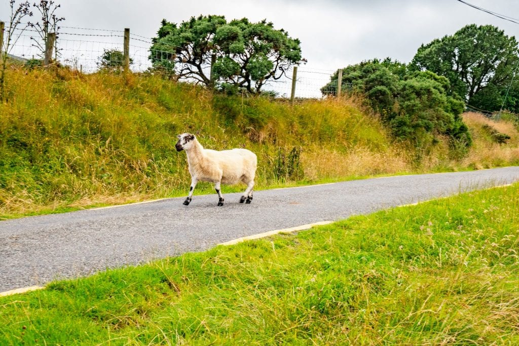 A sheep on the road in Ireland--keep an eye out for this on your Ireland road trip!