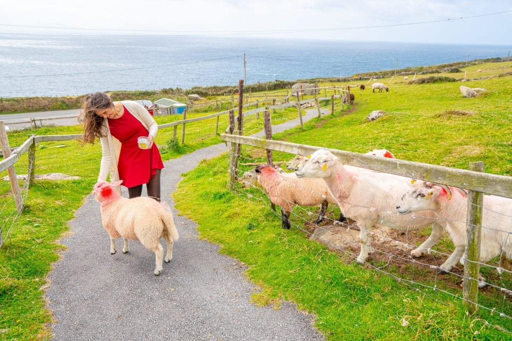 Kate Storm feeding sheep on Slea Head Drive--definitely stop at at least one farm during your 10 days in Ireland!
