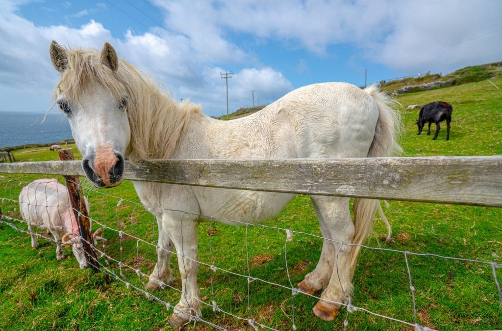 White horse looking over a wooden fence along Slea Head Drive Dingle Peninsula Drive Ireland