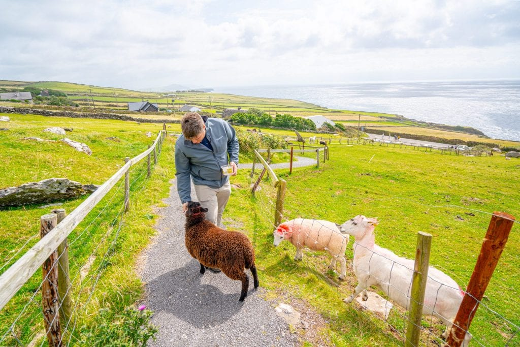 Jeremy feeding lambs along Slea Head Drive Ireland