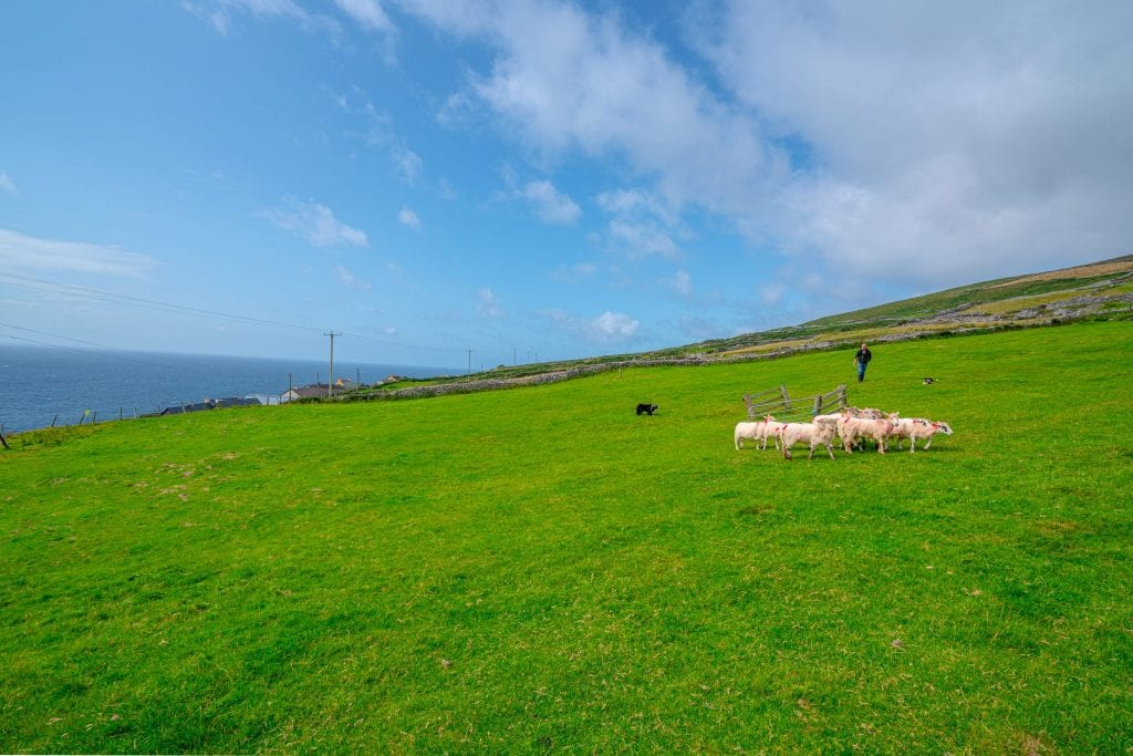 Sheepdog demonstration on Dingle Peninsula Ireland, farmer, sheepdog, and small herd of sheep are visible
