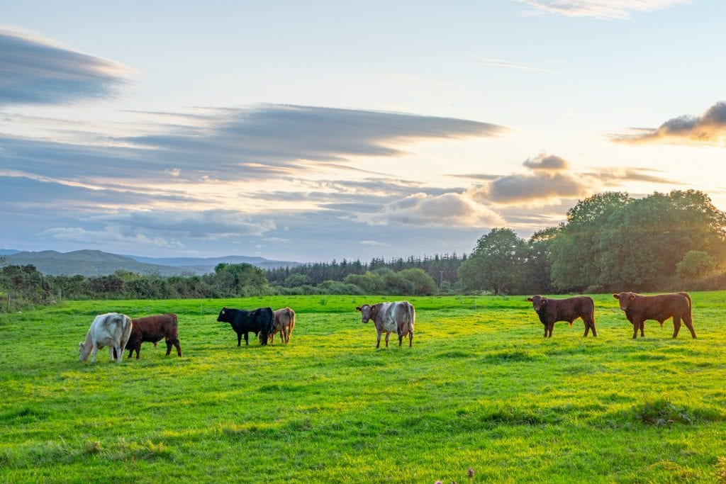 Cows standing in a green field with the sun setting behind them--plan to see a lot of sights similar to this when taking a trip to Ireland.