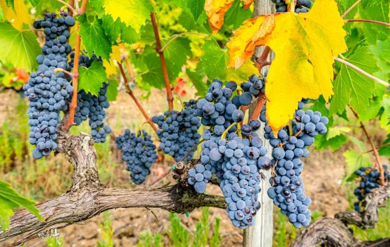 Cluster of grapes almost ready to be harvested in the Tuscan countryside--wine tours can easily be one of the best day trips from Florence Italy!