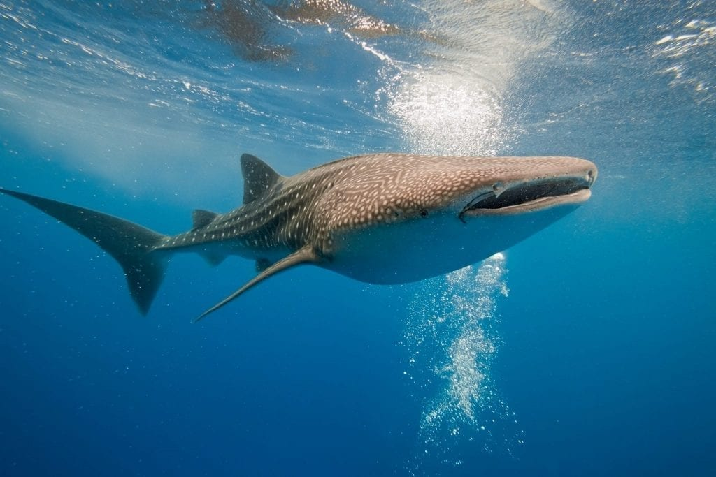 Image of a whale shark in the center of the frame surrounded by blue water