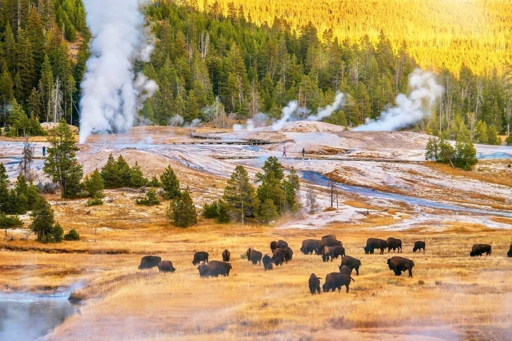 herd of buffalo in yellowstone national park with geysers visible in the background. yellowstone is an unforgettable piece of some of the best road trips in usa